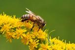 Galaktische Honigbienen logo