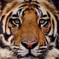 Tiger33 logo